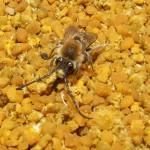 Conditionarea si pastrarea polenului