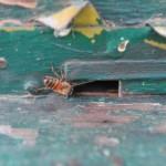 Stuparul Arsene si viespii afgani