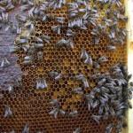 Primul polen