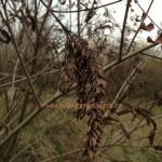 Plante melifere|Amorpha fruticosa