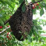 Recuperare roi de albine