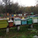 Familii de albine de vanzare