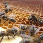 Veninul de albine poate vindeca SIDA?