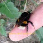 Concurenti apicoli. Bondarul.