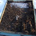 Daunatorii albinelor | Soarecele